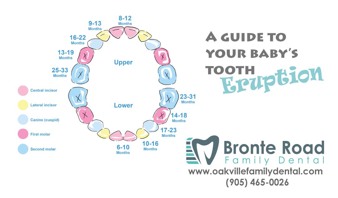 Baby teething 7 tips for busy parents with teeth eruption chart tooth eruption guide ccuart Image collections